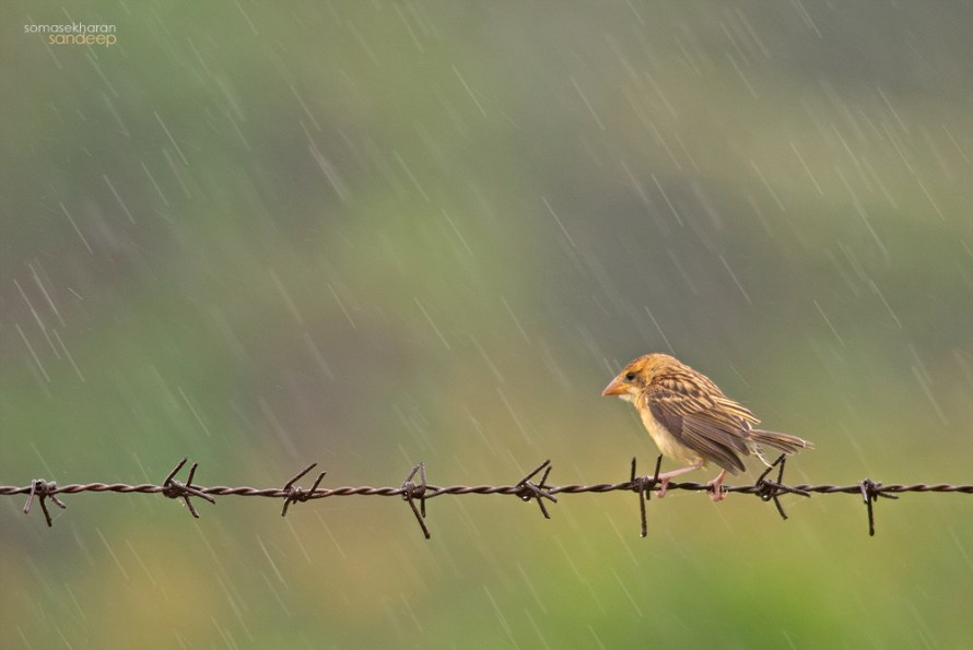 Brown girl In the rain : A baya weaver (Ploceus philippinus) female enjoys an early monsoon shower.
