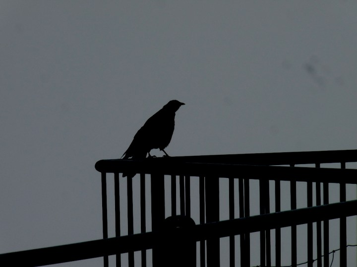 Alpine chough silhouette at Hoher Kasten, Switzerland
