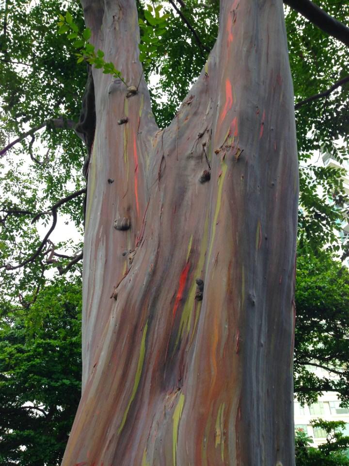 The Mindanao Gum Tree