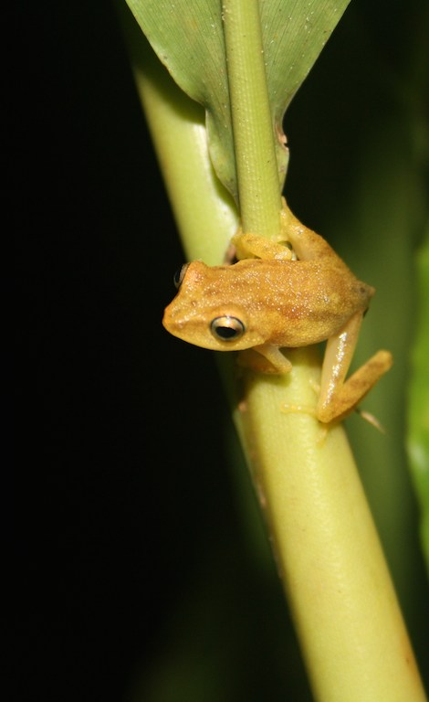 Size of half a thumb, this tree frog is called the blue-eyed bush frog (Raorchestes luteolus)