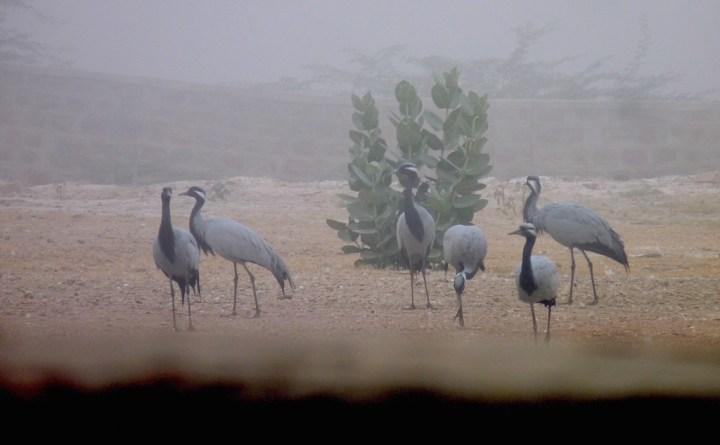 Wintering Demoiselle Cranes at Kheechan