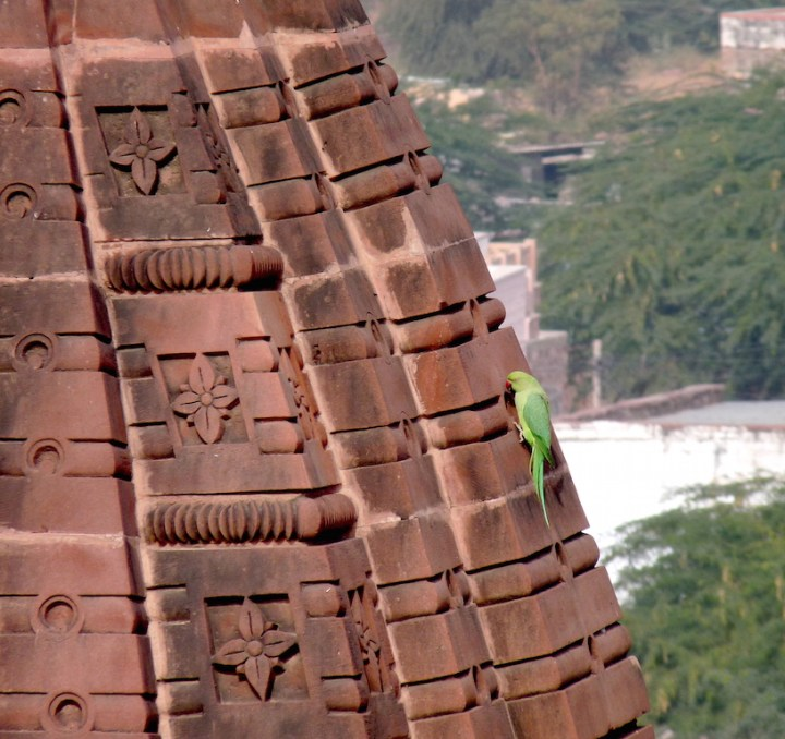 A Rose-ringed Parakeet makes itself at home upon Osian's red sandstone monuments