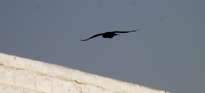 The Common Raven (Corvus corax subcorax) floated in the air like a great black kite