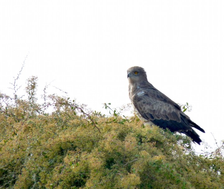 A Short-Toed Snake Eagle surveys its domain