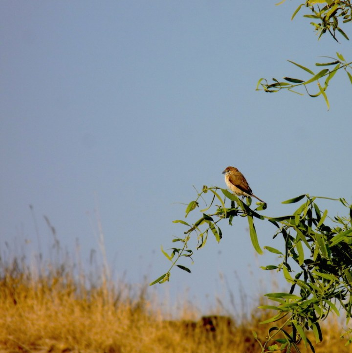 A solitary Indian Silverbill waits to join its flock