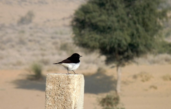A Variable Wheatear on its perch