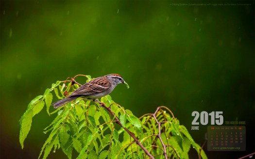 A Chipping Sparrow in the rain, for your June wallpaper