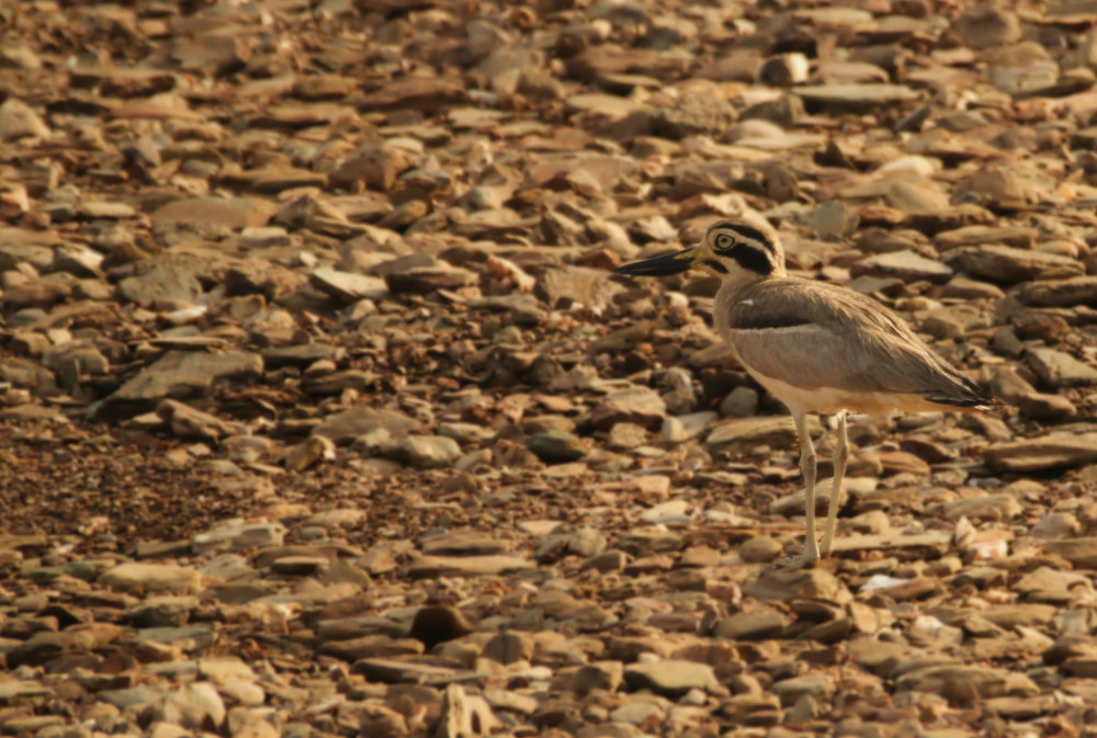 A well camouflaged Great Stone Curlew