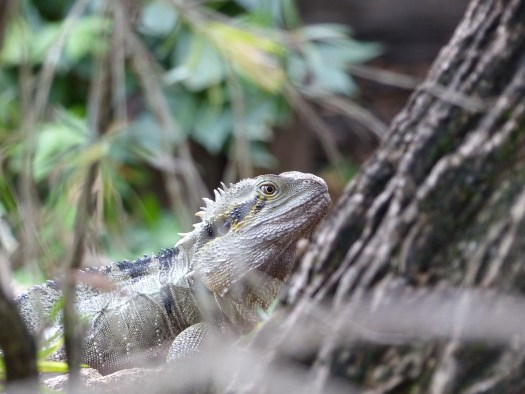Unafraid, an Australian Water Dragon peeps from behind a hedge
