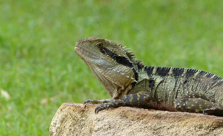 A handsome Australian Water Dragon at Lone Pine Koala Sanctuary near Brisbane, Queensland