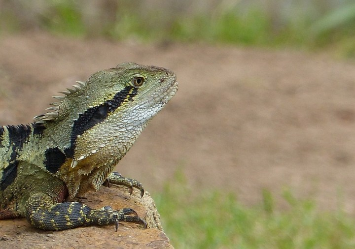 An Australian Water Dragon suns itself near Brisbane
