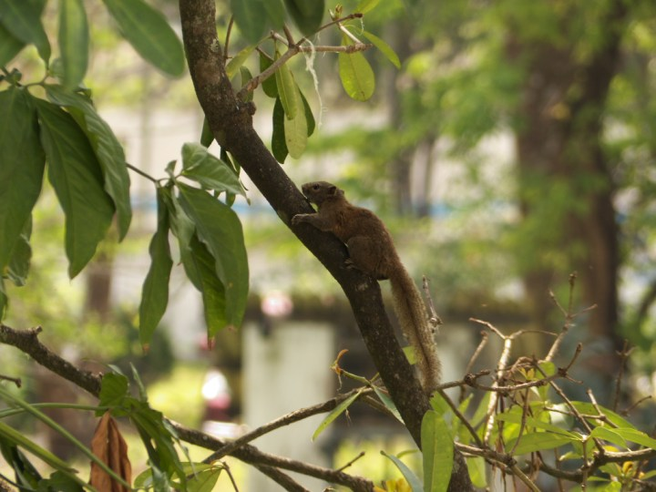 Its calls are loud and it is easily spotted in the forests and gardens of the Dooars