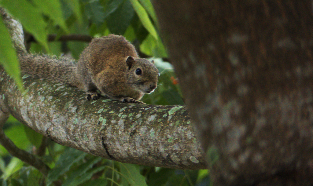 The Hoary-bellied Squirrel occurs abundantly in the forests of the Dooars up to about 1500 m in the Himalaya