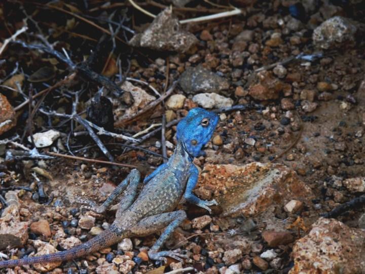 A male Sinai Agama in Sur, Sultanate of Oman