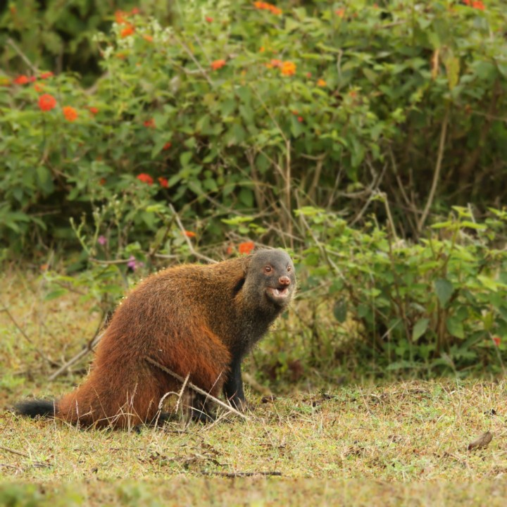 The Stripe-necked Mongoose (Herpestes vitticollis) after it turned around