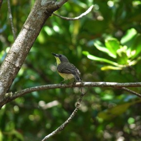 Encounter – Golden-bellied Gerygone