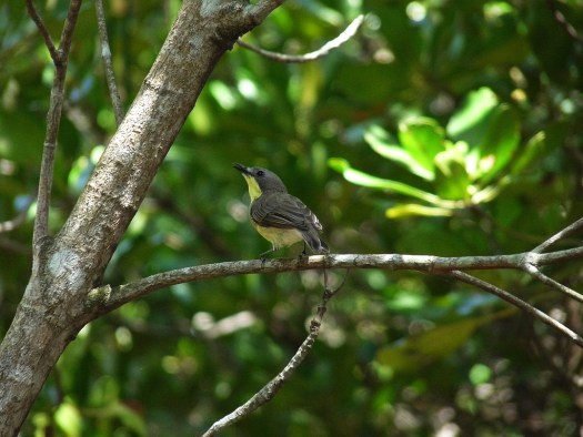 Golden-bellied Gerygone at Pranburi Forest Reserve, Thailand
