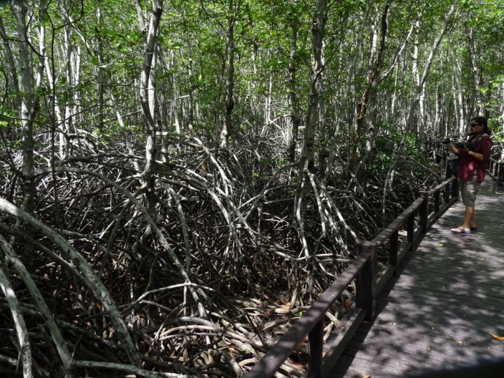 In some places, the mangrove stilt roots stand at least six feet off the ground
