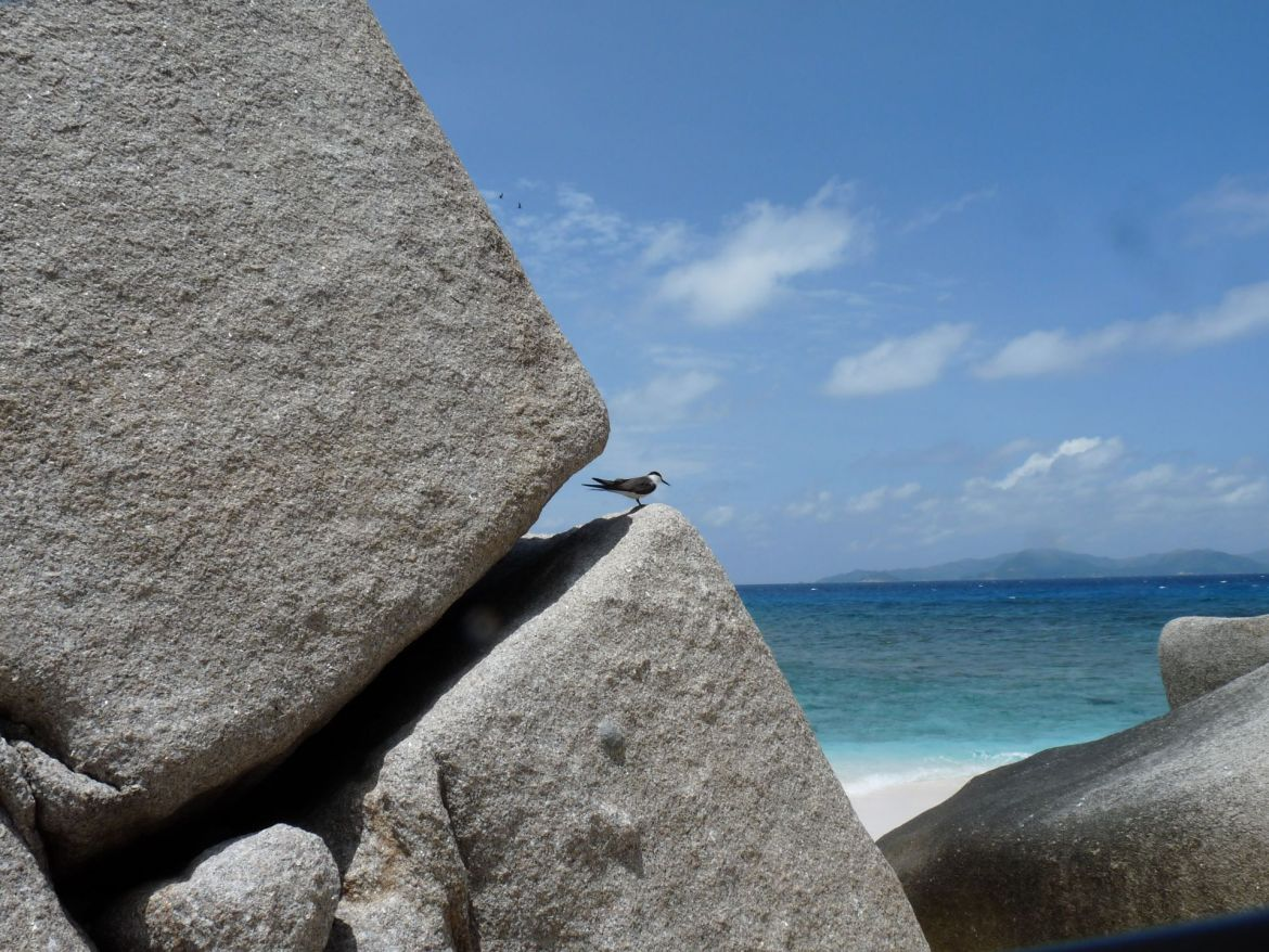 A Sooty Tern rests in a rock cleft on the granitic Cocos Island of Seychelles