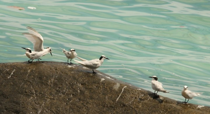 Black Naped Terns on the way to Kalapatthar Beach