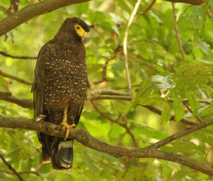 An Andaman Serpent Eagle, looking for anything that slithers