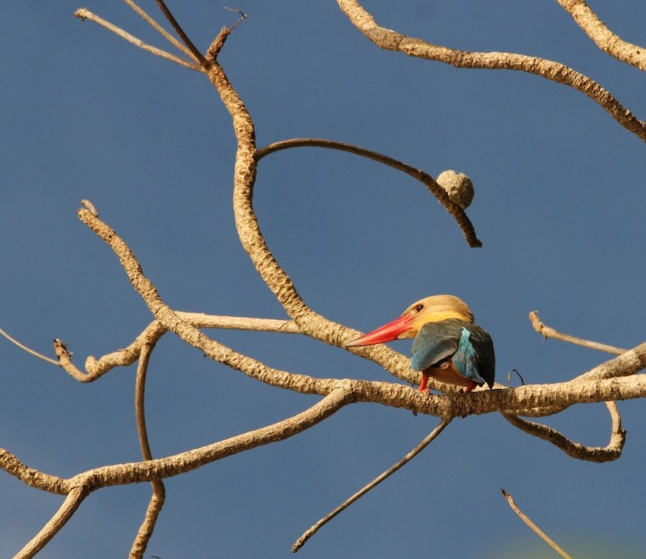 Stork Billed Kingfisher on Neil's Cove