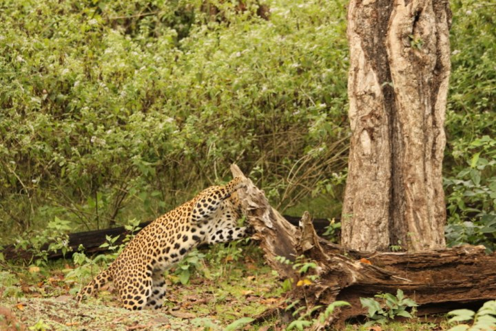 The leopard displayed a behavior of biting the wood from a fallen tree