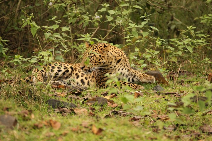 The leopard while in a playful mood displayed moments of alertness