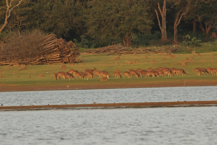 Supper time for Spotted Deer