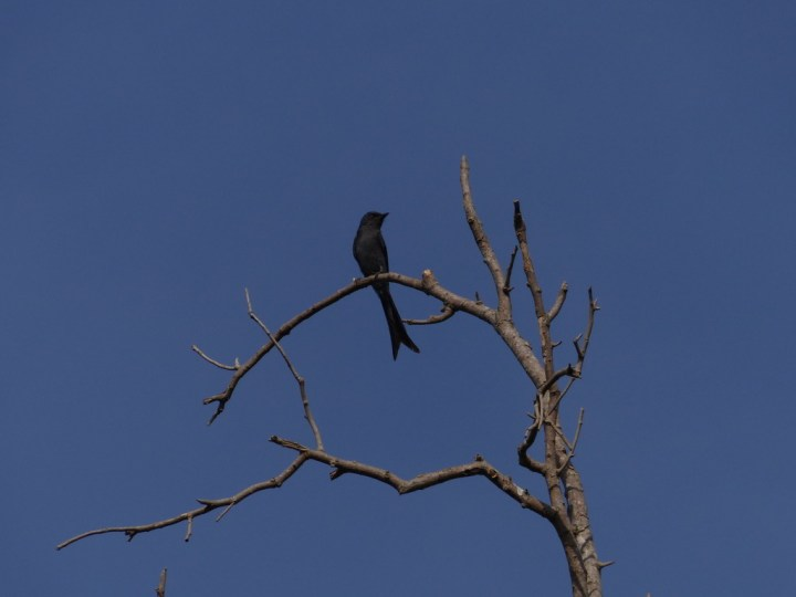 An Ashy Drongo sets itself apart from the Black Drongos