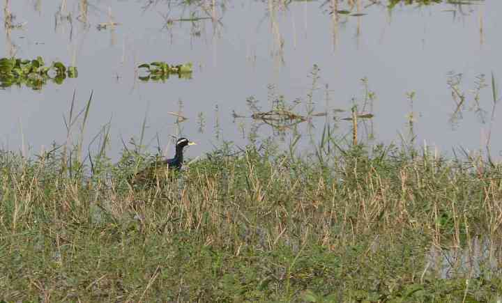 A Bronze-winged Jacana is always a welcome sight