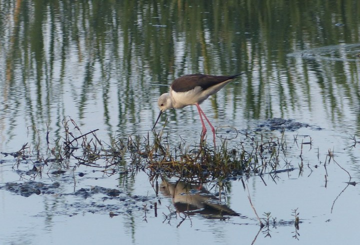 A Black-winged Stilt forages in the swamp