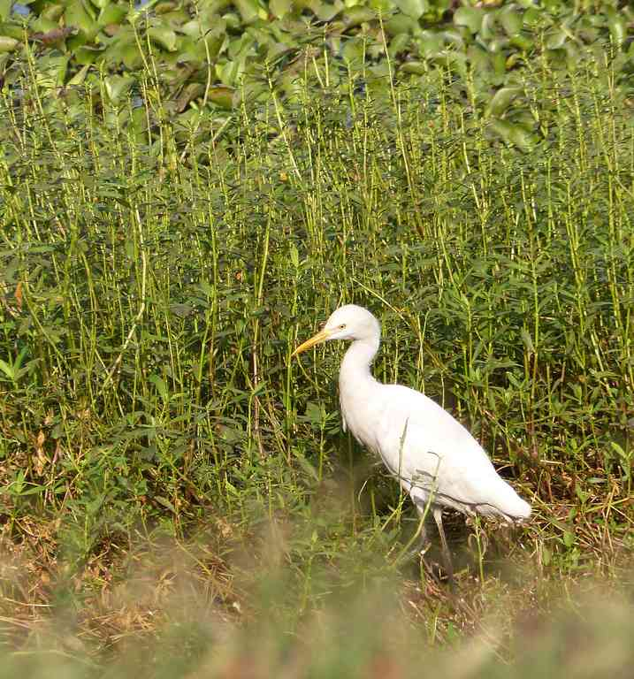 A Cattle Egret forages in unusual solitude