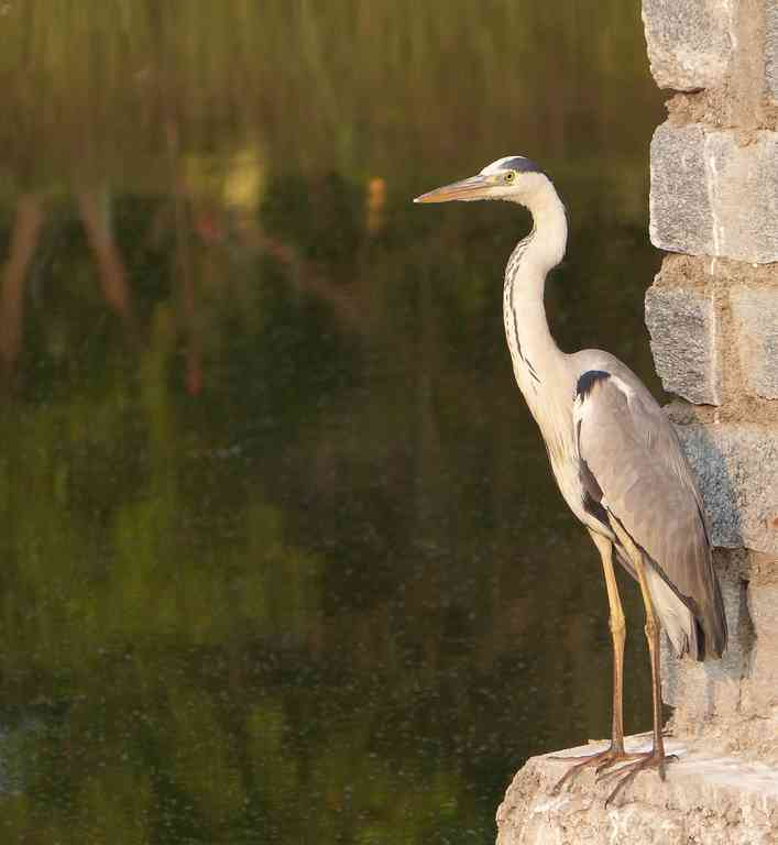 A Grey Heron usurps a favourite vantage of smaller birds
