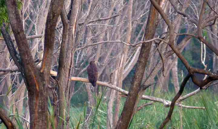 Looks very much like an Indian Spotted Eagle. ID confirmation welcome