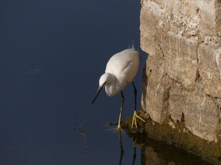 This Little Egret is a portrait of patience