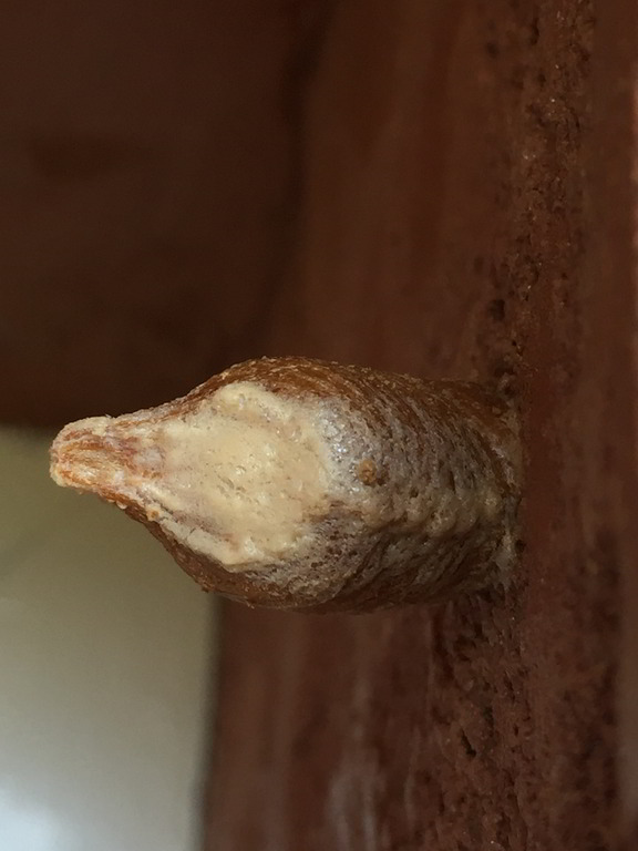 The ootheca (egg case) of a Praying Mantis