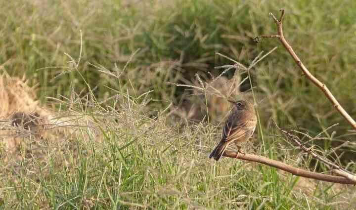 Great Backyard Bird Count - Paddyfield Pipit