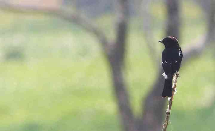 A Pied Bushchat claims his throne