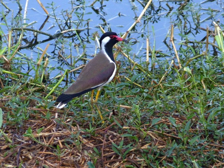 A Red-wattled Lapwing waits to shriek an alarm