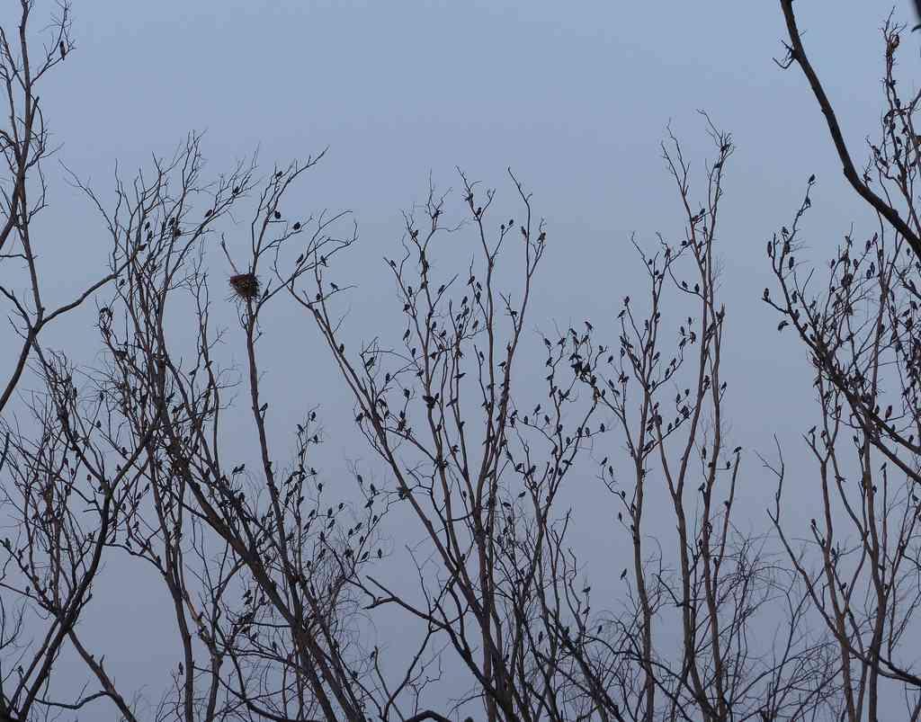 Great Backyard Bird Count - Rosy Starlings at Kaikondrahalli Lake