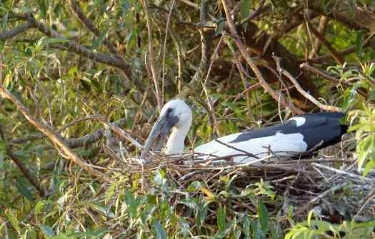 An Asian Openbill incubates on its nest at Ranganathittu