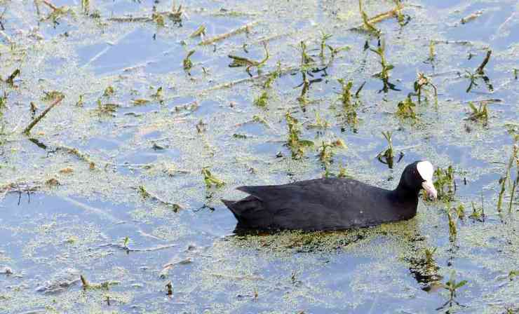 A Eurasian Coot forages