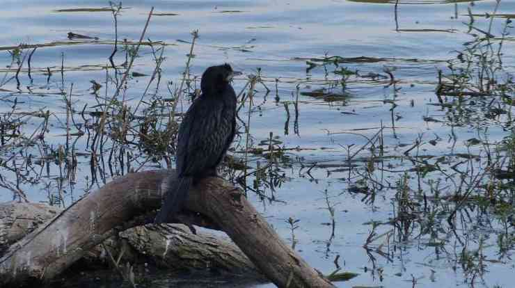 An Indian Cormorant appears to be in a meditative mood