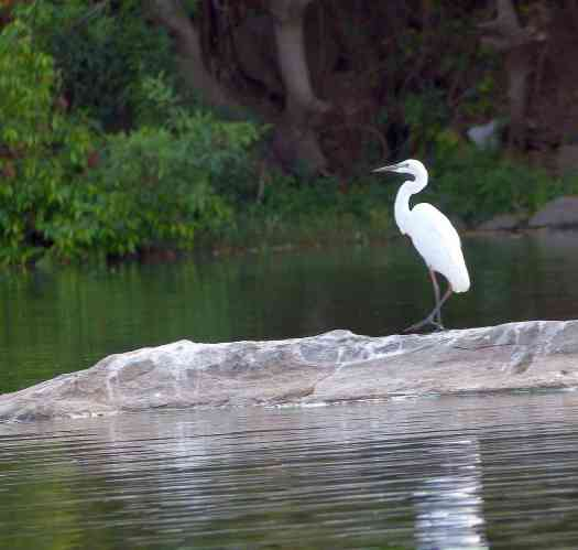 The Great Egret is a picture of grace