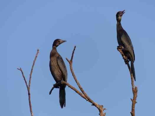 Little Cormorants at Ranganathittu