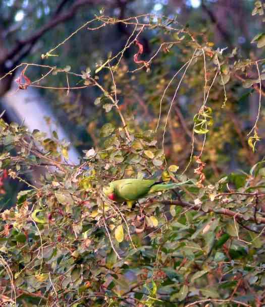 Rose-ringed Parakeet at Ranganathittu