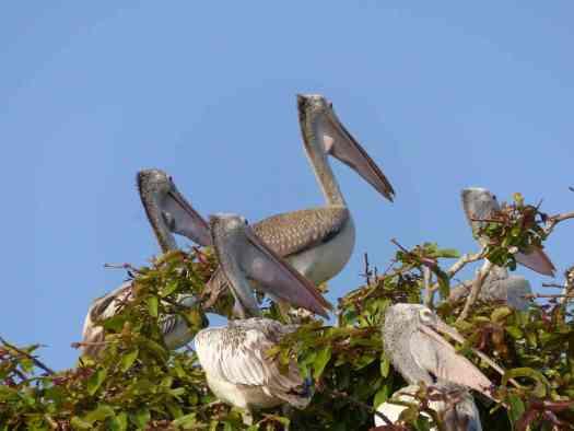 The Spot-billed Pelicans were nesting