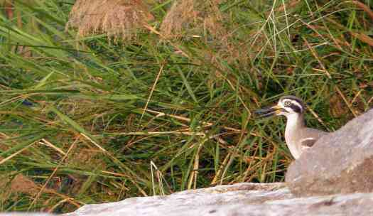 A reedy whistling gave away the location of this Greater Thick-knee, also known as Great Stone-Curlew