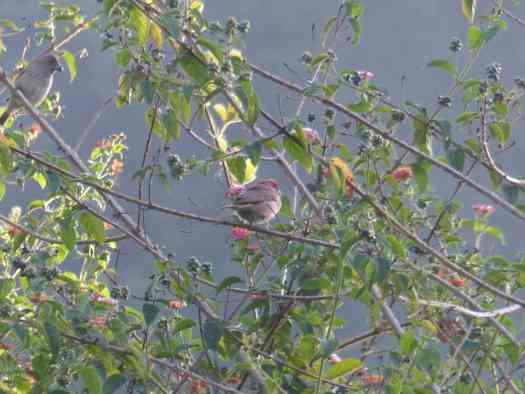 Common Rosefinch in the Nilgiris